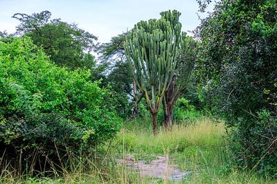 Euphorbie im Ziwa Rhino Sanctuary, Uganda