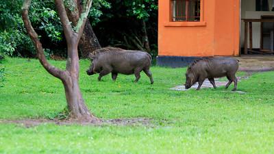 Warzenschweine im Ziwa Rhino Sanctuary, Uganda