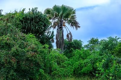 Äthiopische Palmyrapalme im Ziwa Rhino Sanctuary, Uganda