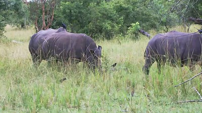 Rhino-Pirsch im Ziwa Sanctuary, Uganda