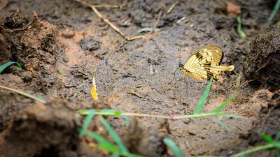 Papilio dardanus (African swallowtail / mocker swallowtail / flying handkerchief) butterfly in Ziwa Rhino Sanctuary, Uganda