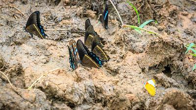 Schmetterlinge im Ziwa Rhino Sanctuary, Uganda