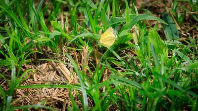 Eurema / grass yellow butterfly in Ziwa Rhino Sanctuary, Uganda