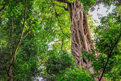 Würgefeige im Budongo Regenwald
