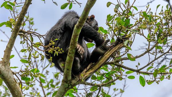 Schimpansen im Budongo Regenwald