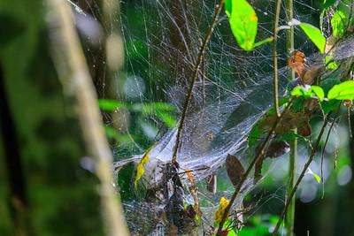 Spinnennetz im Budongo Regenwald