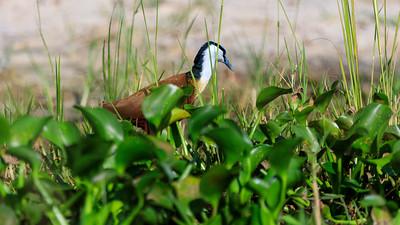 Blatthühnchen am Victoria Nil, Murchison NP