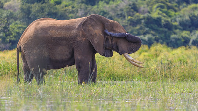Verletzter Elefant am Victoria Nil, Murchison NP
