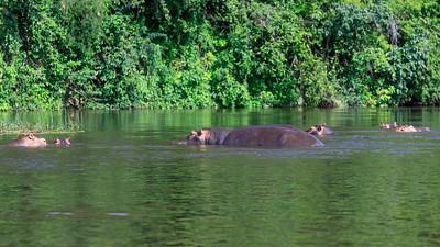 Hippos am Victoria Nil, Murchison NP