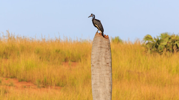 Sudanhornrabe, Murchison Falls NP