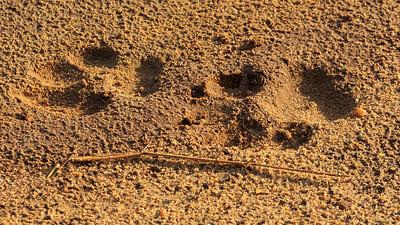 Löwenspuren, Murchison Falls NP
