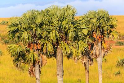 Äthiopische Palmyrapalme, Murchison Falls NP