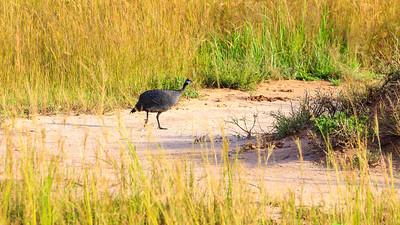 Perlhühner, Murchison Falls NP
