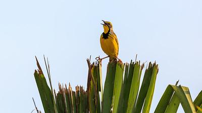 Webervogel, Murchison Falls NP