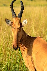Lelwel-Kuhantilope, Murchison Falls NP