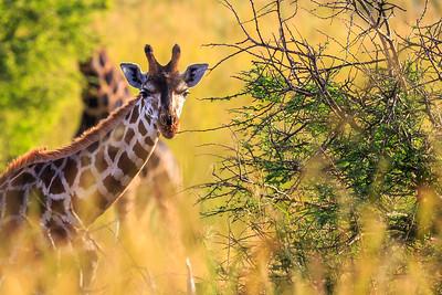 Rothschild-Giraffe, Murchison Falls NP