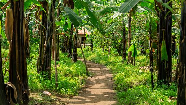 Bananenpflanzung, Kichwemba, Uganda