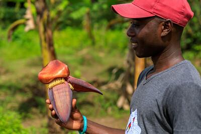 Bananenblütenstand, Kichwemba, Uganda