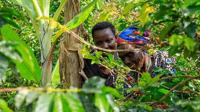 Kaffeeernte, Kichwemba, Uganda
