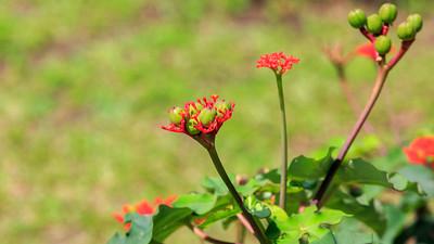 Jatropha podagrica (Euphorbiceae), Kingfisher Lodge, QENP, Kichwemba, Uganda