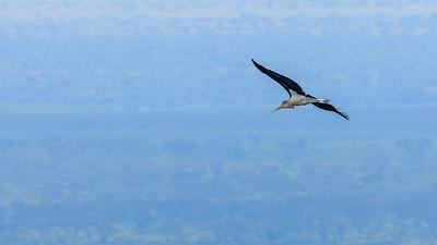 Marabu (Leptoptilos crumeniferus / marabou stork) über dem QENP, Kichwemba, Uganda