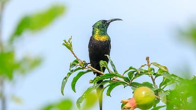 Nektarvogel (Nectariniidae / Honigsauger / sunbirds / spiderhunters), QENP, Kichwemba, Uganda