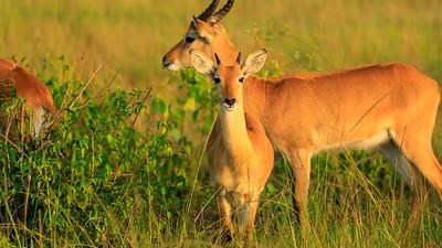 Uganda-Grasantilope (Kobus kob thomasi / Uganda-Kob / Ugandan kob), QENP, Uganda