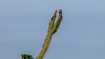 Graumantelwürger (Lanius excubitoroides boehmi / Grey-backed fiscal), QENP, Uganda