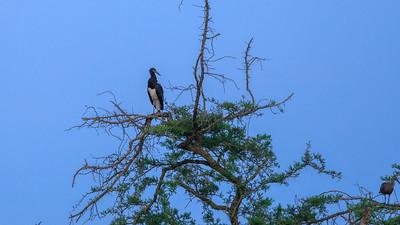 Abdimstorch (Ciconia abdimii / Regenstorch / Abdim / Abdim's stork / white-bellied stork), QENP, Uganda