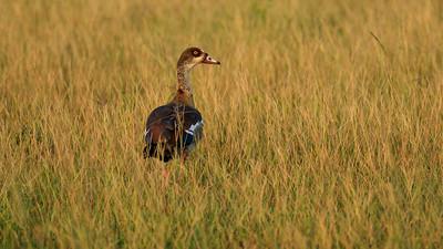 Nilgans (Alopochen aegyptiacus / Egyptian goose), QENP, Uganda