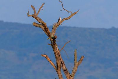 Halsband-Zwergfalke (Polihierax semitorquatus / African pygmy falcon) in seinem typischen Habitat: halbtrockene Savanne, Kasenyi, Uganda