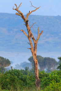 pygmy falcon (Polihierax semitorquatus / African pygmy falcon), QENP, Uganda