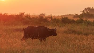 Kaffernbüffel (Syncerus caffer / Schwarzbüffel / Afrikanischer Büffel / Steppenbüffel / African buffalo / Cape buffalo), QENP, Uganda