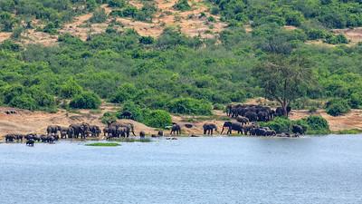 Elefantenherde und Kaffernbüffel (Syncerus caffer / Schwarzbüffel / Afrikanischer Büffel / Steppenbüffel / African buffalo / Cape buffalo) am Kazinga Channel, QENP, Uganda