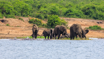 Flusspferd (Hippopotamus amphibius / Nilpferd / Großflusspferd / Hippopotamus / hippo) am Kazinga Channel, QENP, Uganda