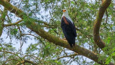 Afrikanischer Fischadler ( (Haliaeetus vocifer / Afrikanischer Fischadler / Osprey) am Kazinga Channel, QENP, Uganda