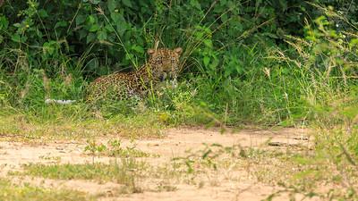 Afrikanischer Leopard (Panthera pardus pardus / african leopard or panther ) am Kazinga Channel, QENP, Uganda