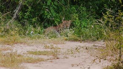 Afrikanischer Elefant (Loxodonta africana / African bush elephant), Afrikanischer Leopard (Panthera pardus pardus (Linné 1758) / african leopard / panther), Kazinga Channel, QENP, Uganda