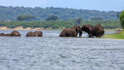 Kampfspiele junger Elefanten am Kazinga Channel, QENP, Uganda