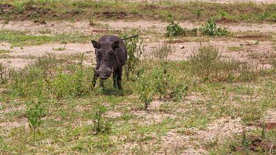 Warzenschwein (Phacochoerus / warthogs), am Kazinga Channel, QENP, Uganda