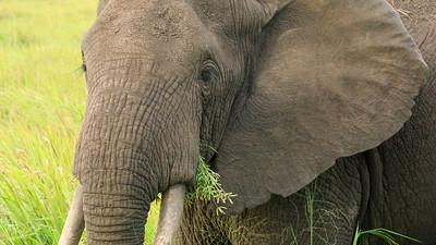 Elefantenbulle, QENP, Uganda