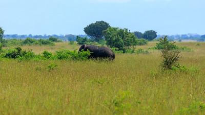 Elefantenbulle in den Kasenyi Plains, QENP, Uganda