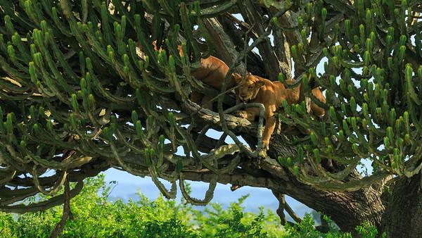 Löwen in Euphorbie in den Kasenyi Plains, QENP, Uganda