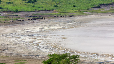 Büffel im Lake Nyamanyuka,  QENP, Uganda