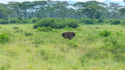 Elefants in the Savannah of Kasenyi Plains, QENP, Uganda