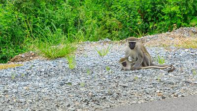 Grüne Meerkatzen (Chlorocebus / green monkey), Kasenyi Plains, QENP, Uganda
