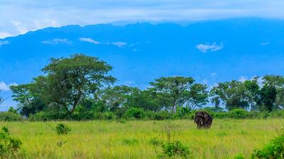 Elefants in the Savannah of Kasenyi Plains, Virunga Mountains in sight, QENP, Uganda