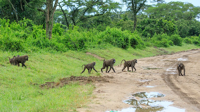 Anubispavian (Papio anubis / Grüne Pavian / olive baboon / Anubis baboon), Kasenyi Palins, QENP, Uganda