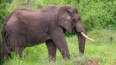 Elefant, Kasenyi Plains, QENP, Uganda