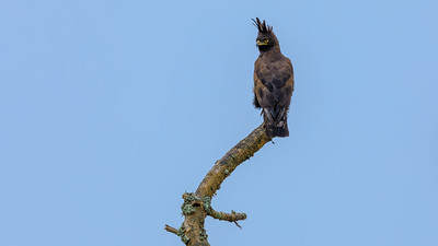 Schopfadler (Lophaetus occipitalis / long-crested eagle), Ishasha, QENP, Uganda